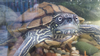 """Adult"" Map Turtle (Graptemys sp)"